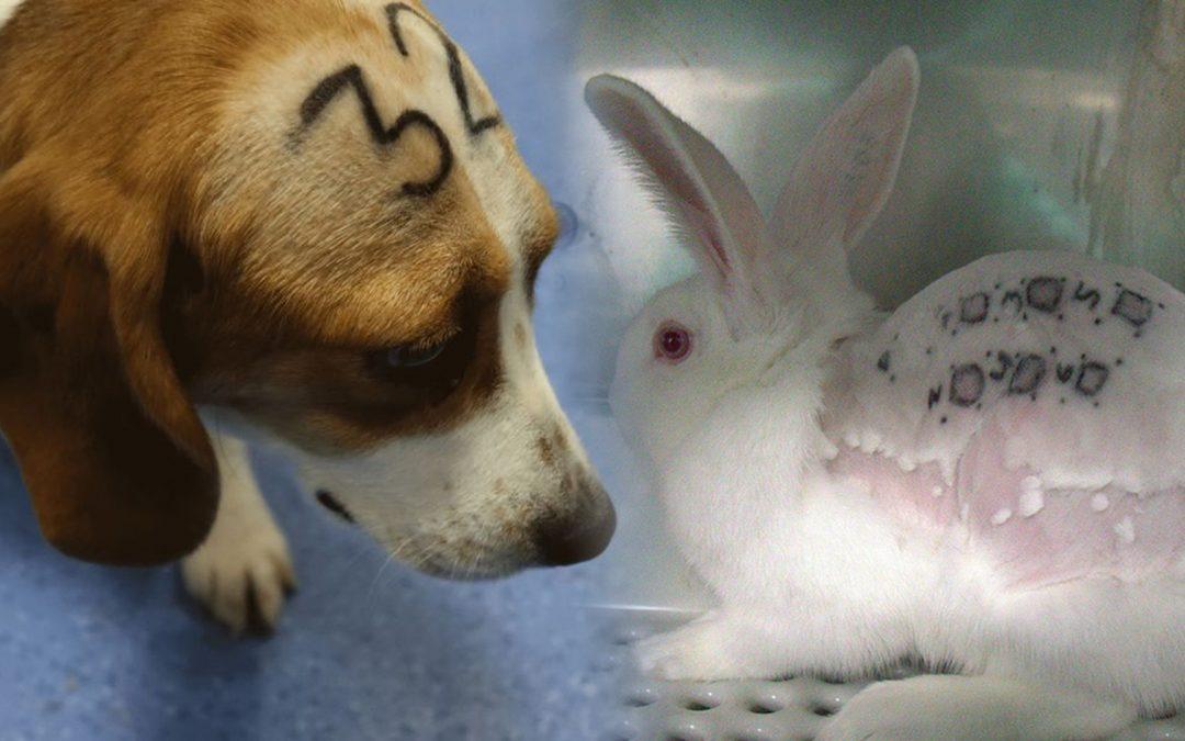 Un laboratori de Madrid empra tècniques cruels d'experimentació en animals Els patiments contravenen la legislació espanyola i europea en la matèria; la Comunitat de Madrid en suspèn l'activitat