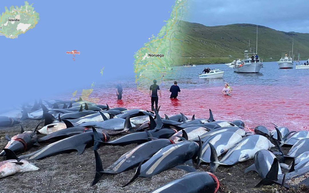 La matança de 1428 dofins a les Illes Fèroe aixeca una onada d'indignació Els defensors de la tradició, que té orígens vikings, la consideren com a font d'alimentació important, atesa la deficitària agricultura de l'arxipèlag